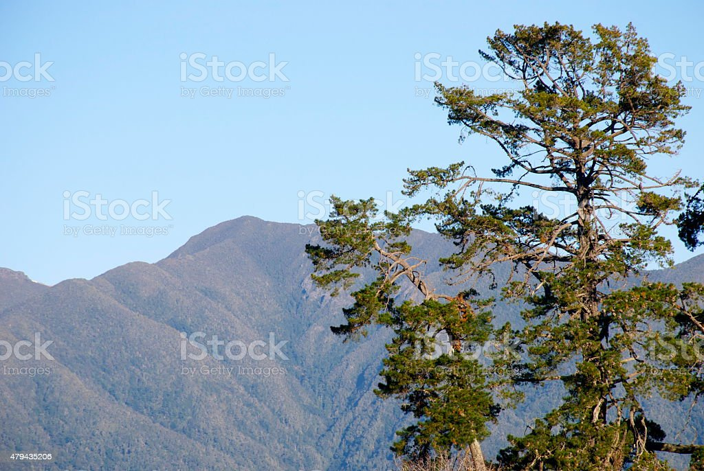 Macrocarpas (Cupressus Macrocarpa) stock photo