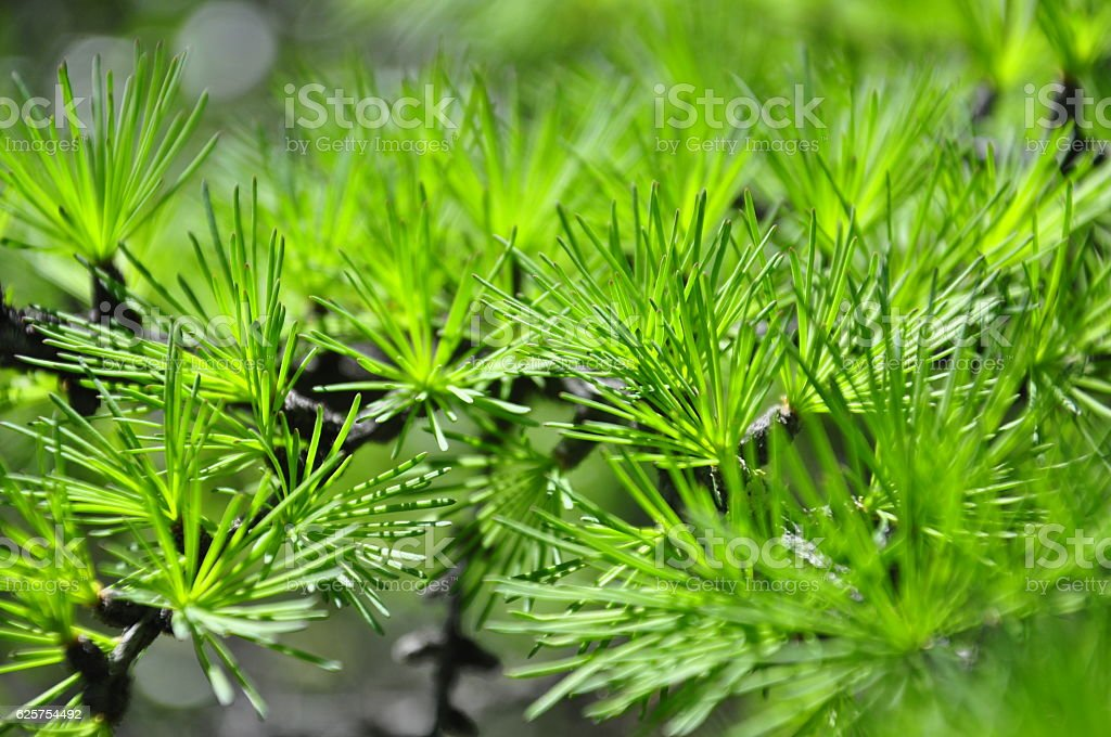 Macrocosm. Larch. Green freshness stock photo