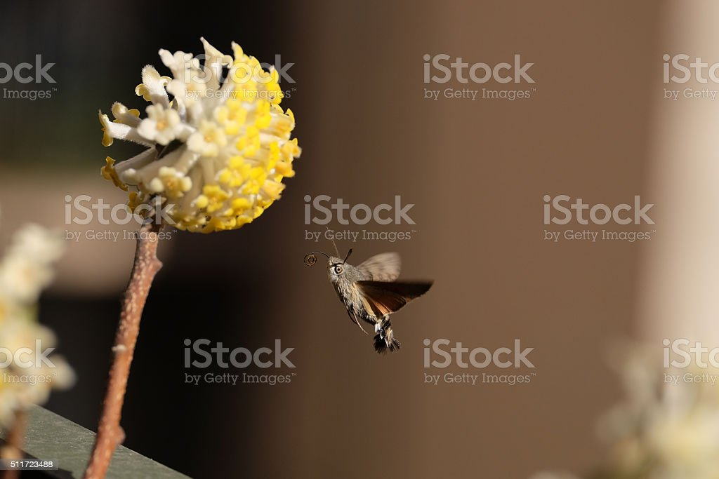 Macroglossum stellatarum (hummingbird hawk-moth) and Mistumata Flowers stock photo
