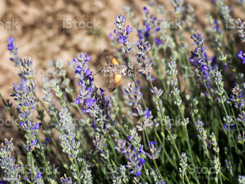 Macroglossum stellatarum. Hummingbird hawk-moth in lavender. stock photo