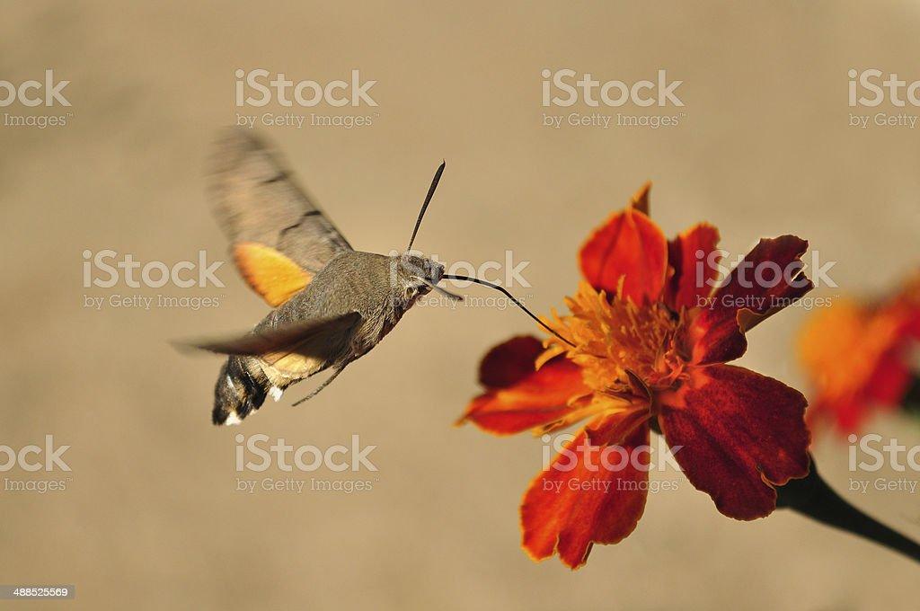 Macroglossum stellatarum, Hummingbird Hawk-moth stock photo