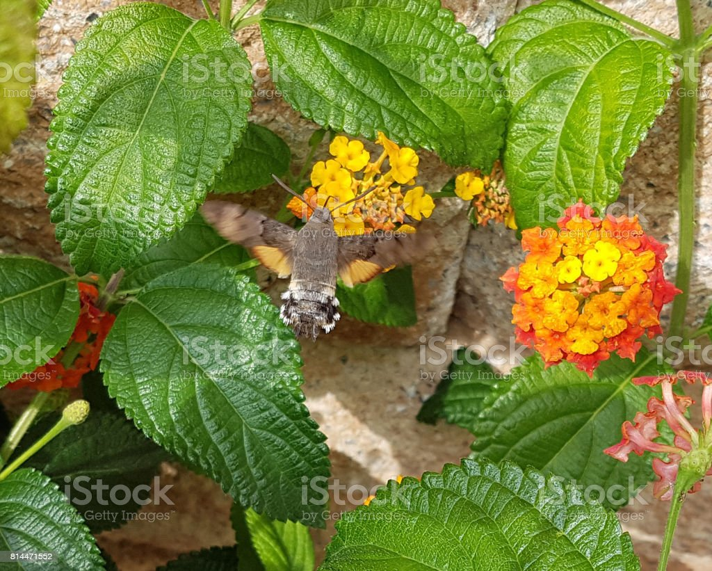 Macroglossum; stellatarum; lantana stock photo