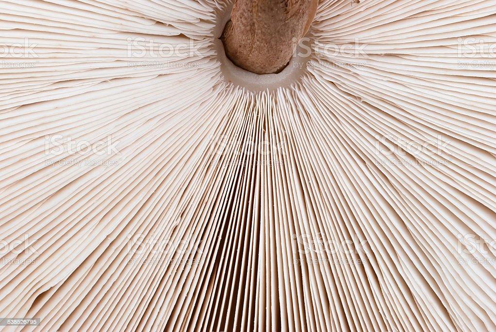 macrolepiota procera stock photo