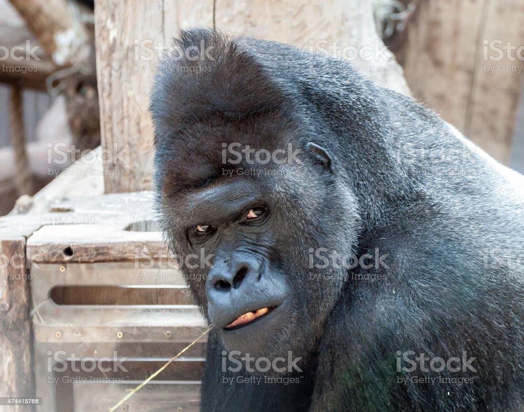 Mad gorilla stock photo