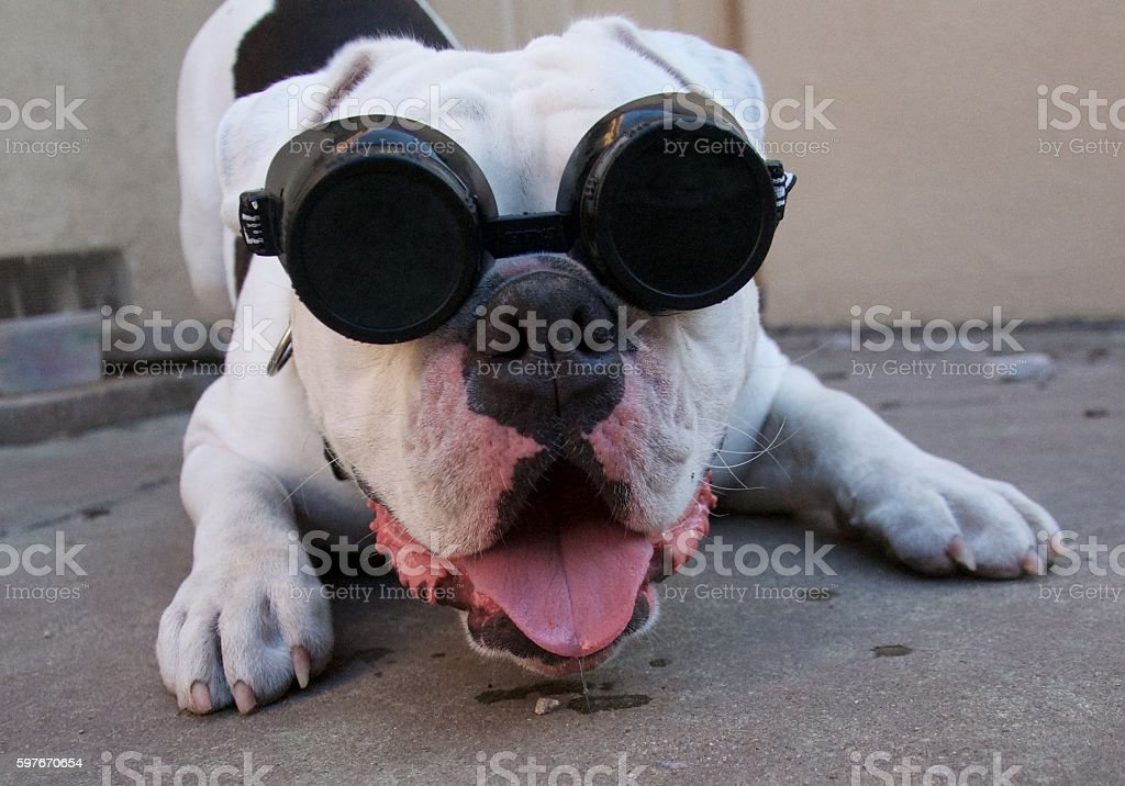 Mad Scientist Puppy stock photo