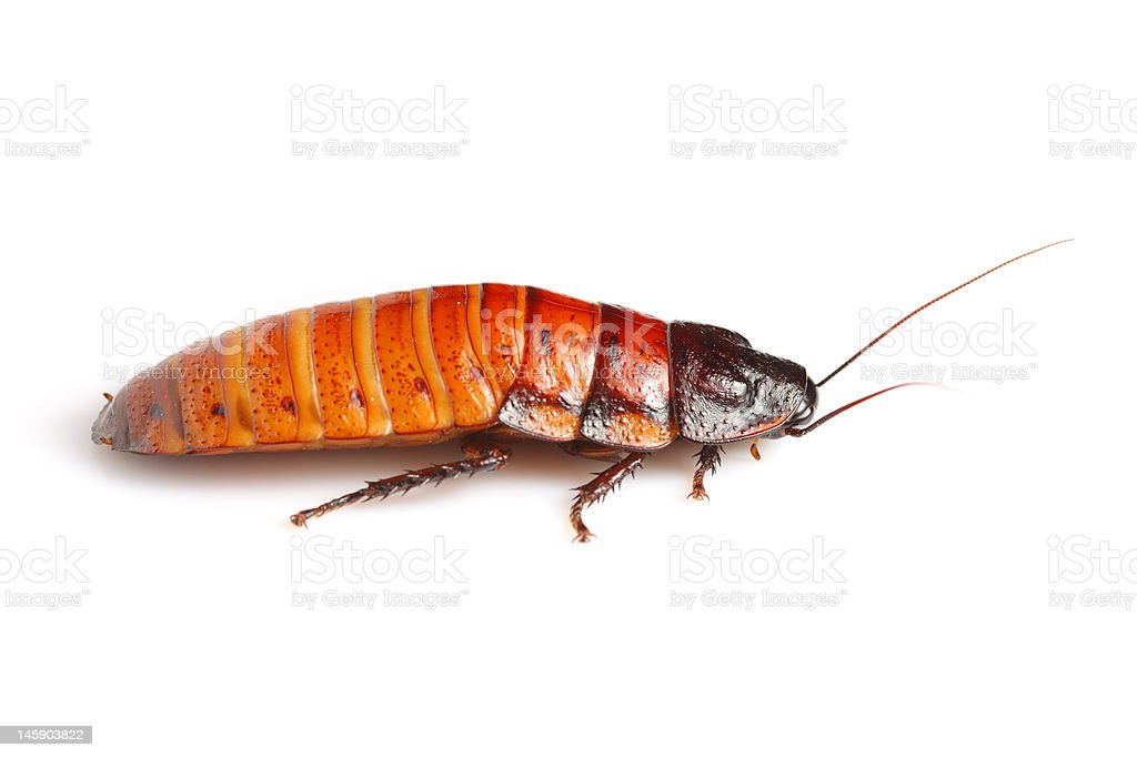 Madagascan hissing cockroach royalty-free stock photo