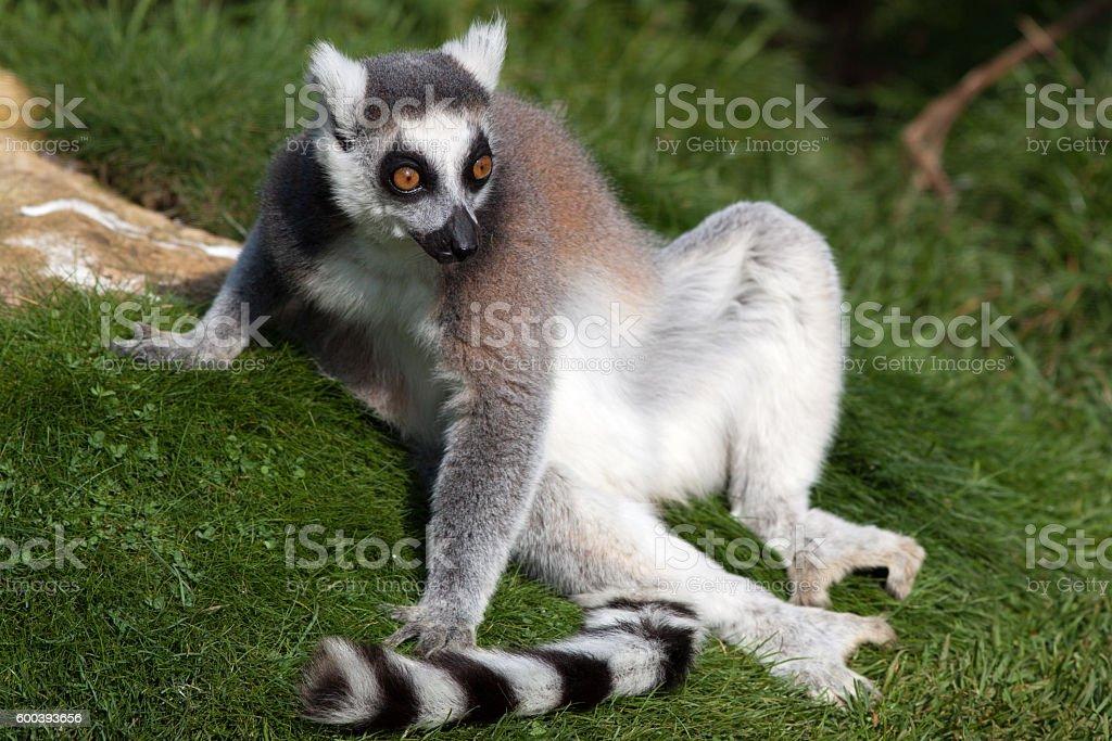 Madagascan Ring Tailed Lemur Close Up stock photo