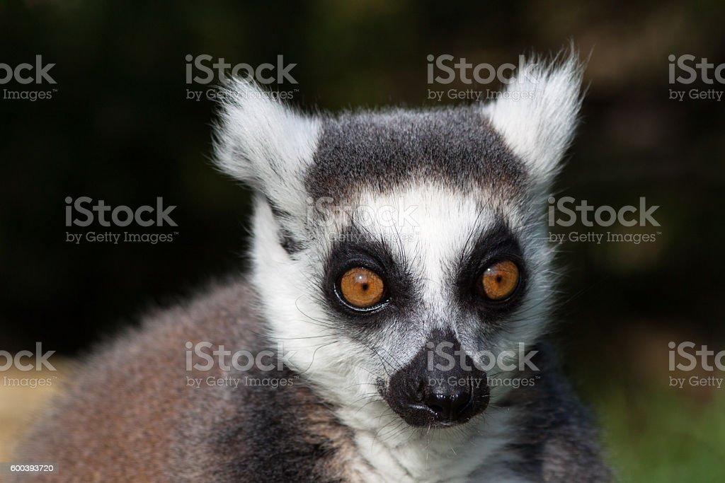 Madagascan Ring Tailed Lemur - Close Up Staring Portrait stock photo