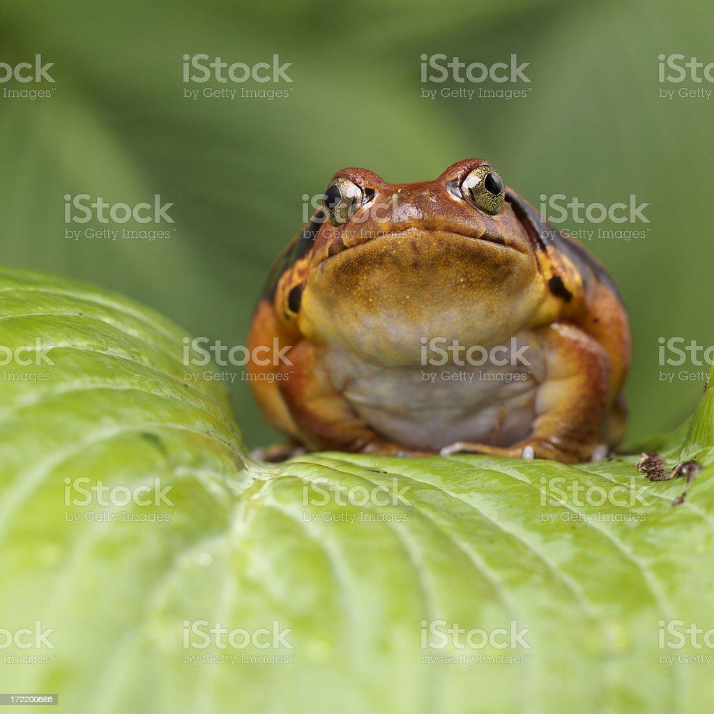 Madagascan Tomato Frog Dyscorphus guineti royalty-free stock photo