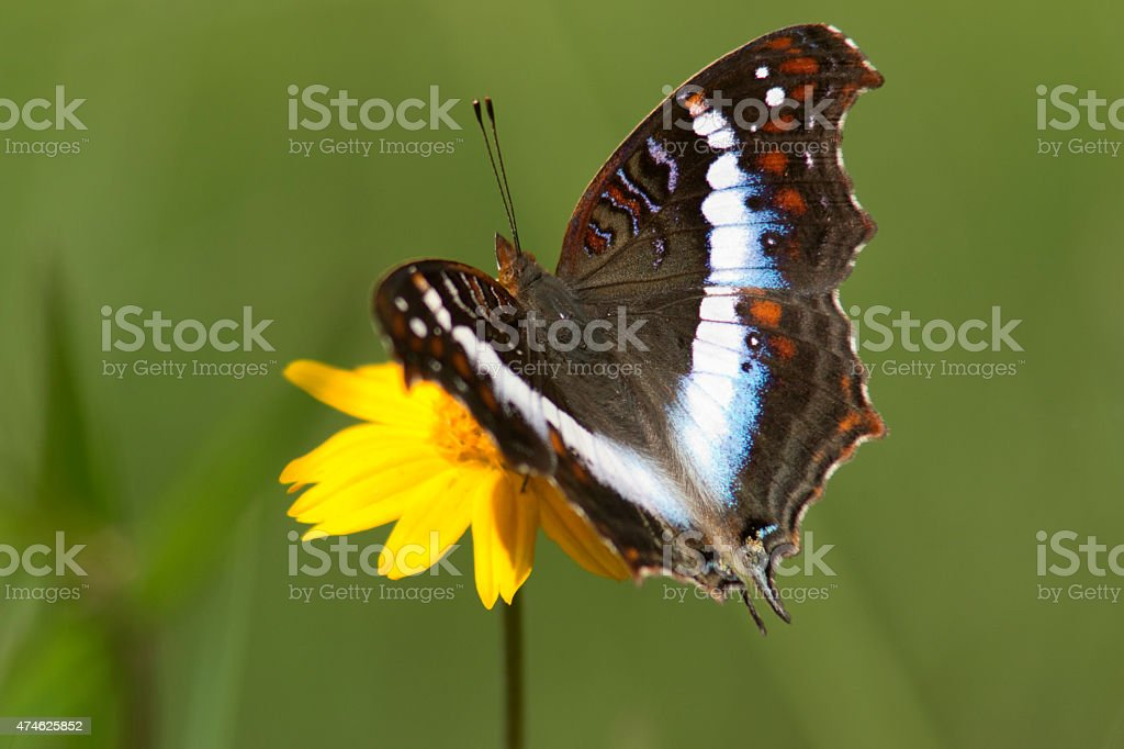 Madagascar banded commodore precis andremiaja butterfly on rainforest flower stock photo