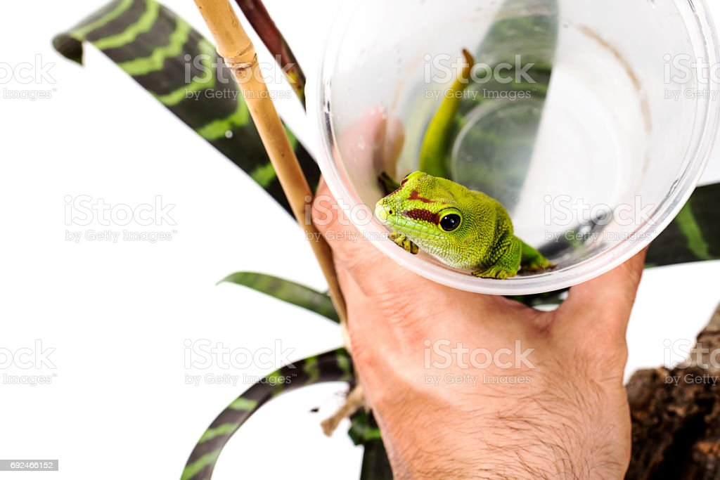 Madagascar Day Gecko in a cup on White isolated background stock photo