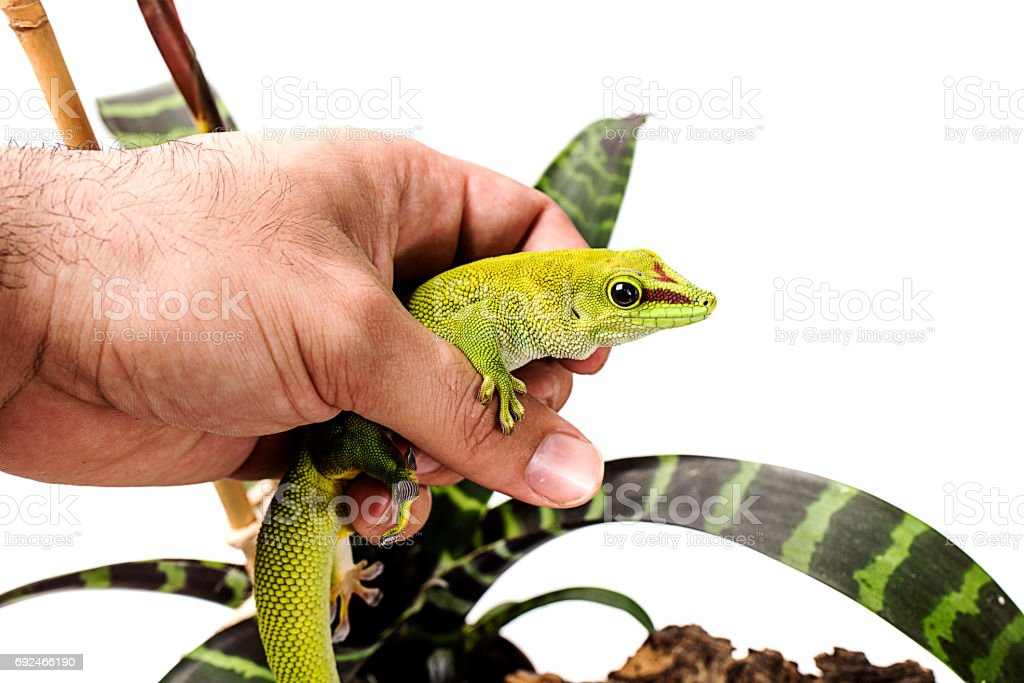 Madagascar Day Gecko in hand White isolated background stock photo