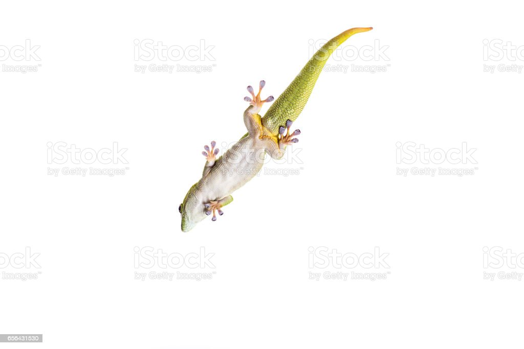Madagascar Day Gecko on White isolated background stock photo