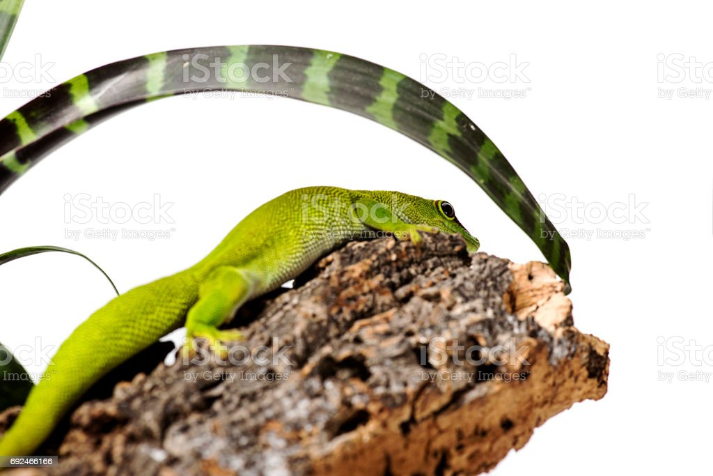 Madagascar Day Gecko on White isolated background with plant stock photo