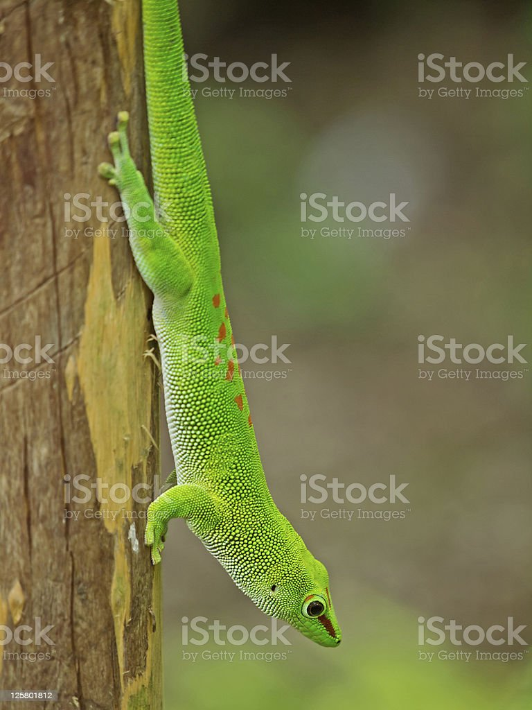 Madagascar day gecko (Phelsuma madagascariensis gransis) stock photo