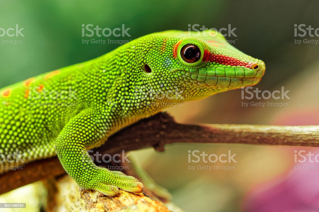 Madagascar day gecko (Phelsuma madagascariensis madagascariensis) stock photo