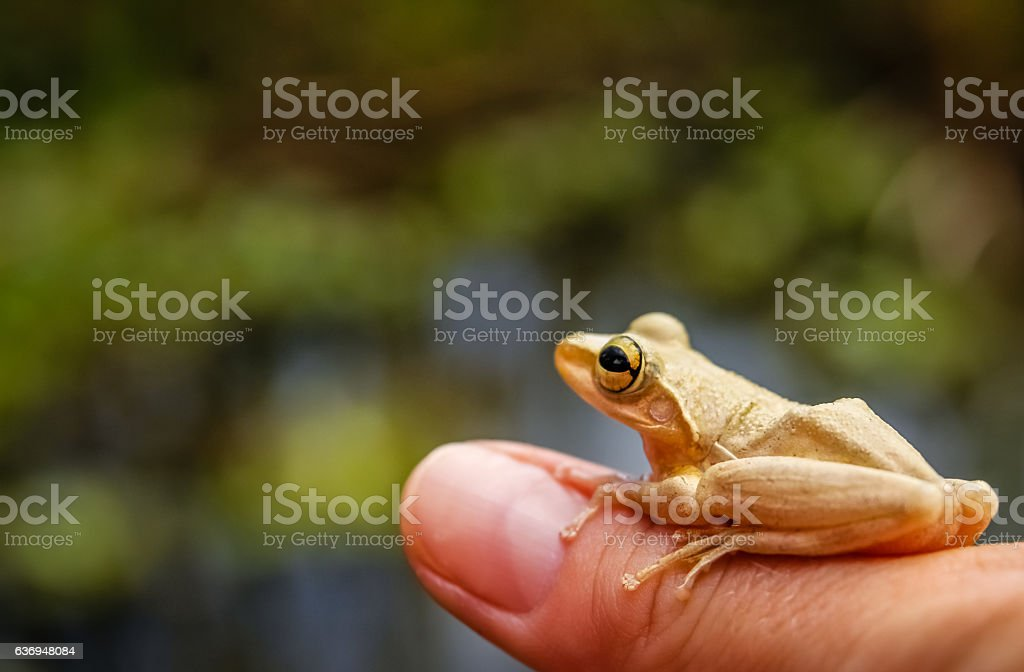 Madagascar frog on human hand stock photo