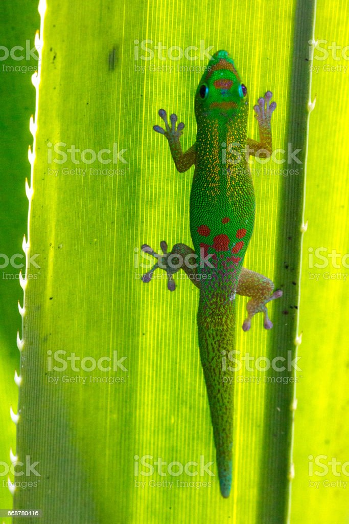 Madagascar Gold-Dusted Day Gecko stock photo