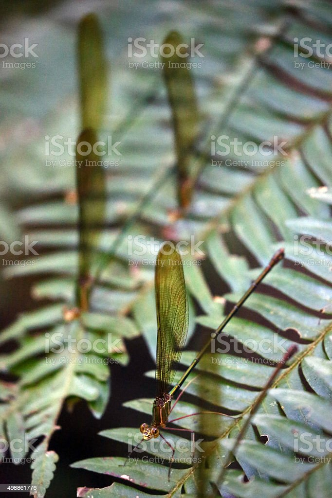 Madagascar: Green-Shimmering Forest Damselfly stock photo