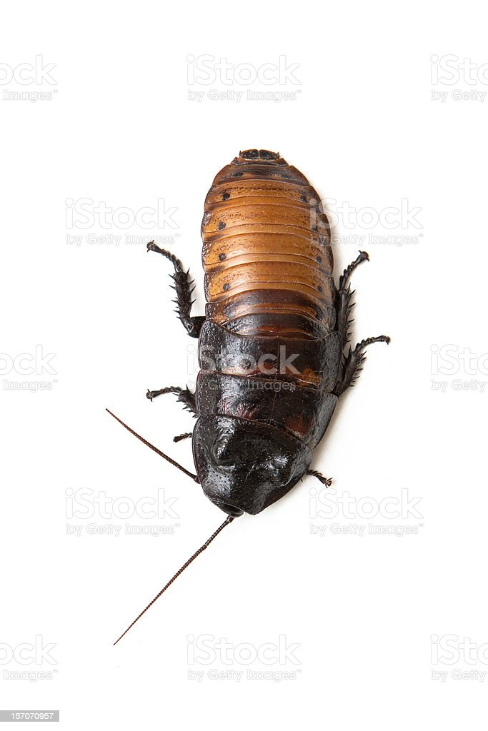 Madagascar hissing cockroach royalty-free stock photo
