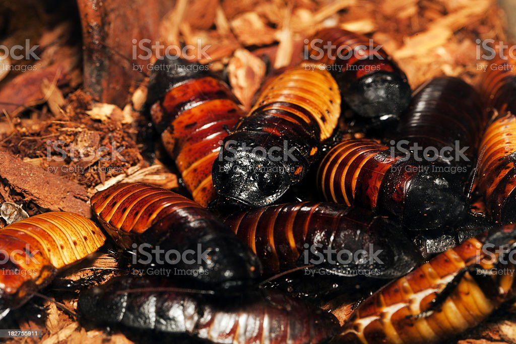 Madagascar hissing Cockroach (Gromphadorhina portentosa) royalty-free stock photo
