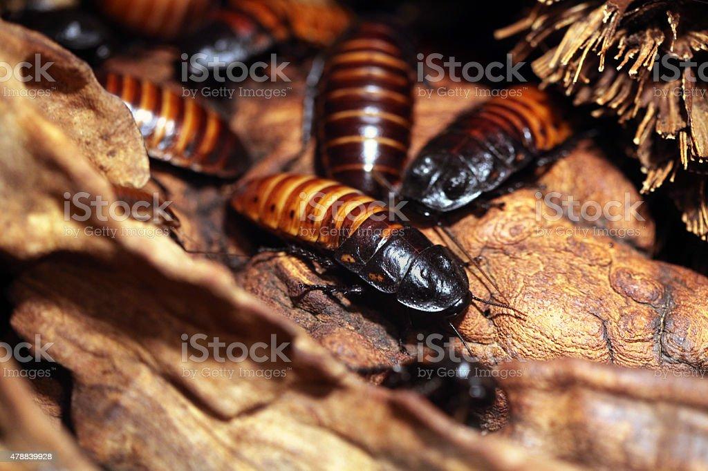 Madagascar hissing cockroach (Gromphadorhina portentosa) stock photo