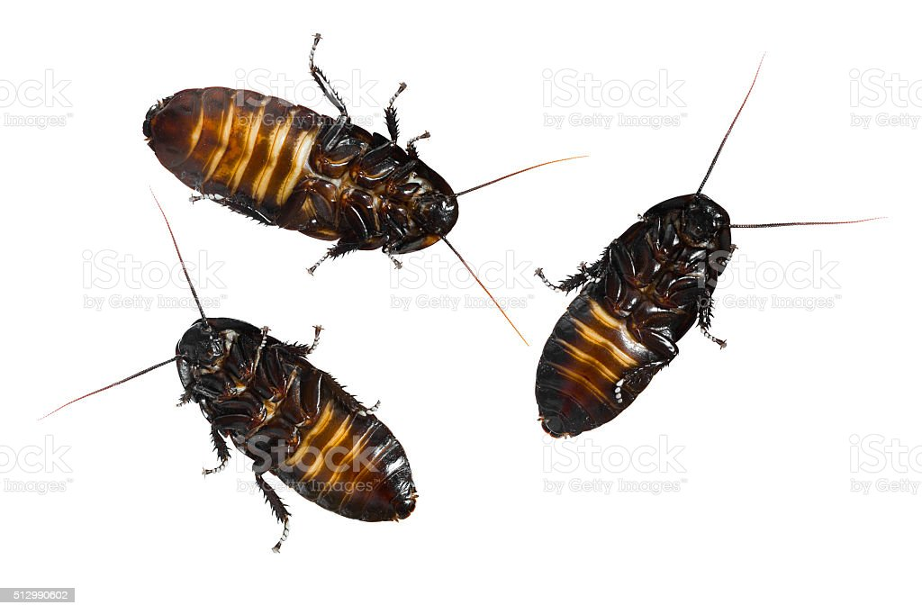 Madagascar hissing cockroaches stock photo