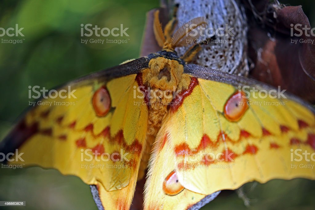 Madagascar: Madagascar Moon Moth in Mantadia National Park stock photo