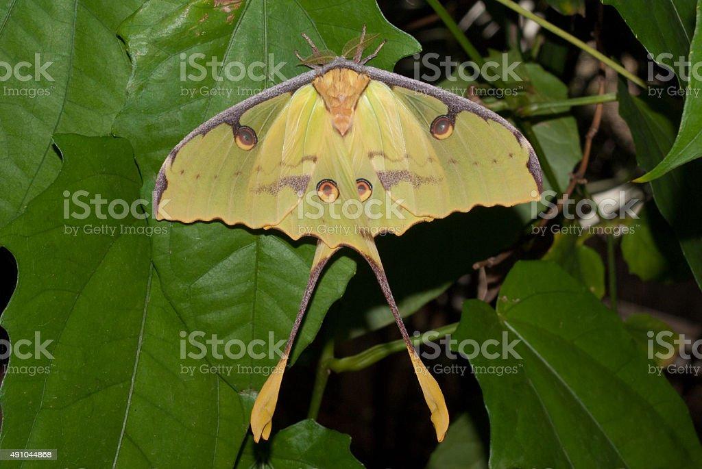 Madagascar Moon Moth (Argema mittrei) stock photo