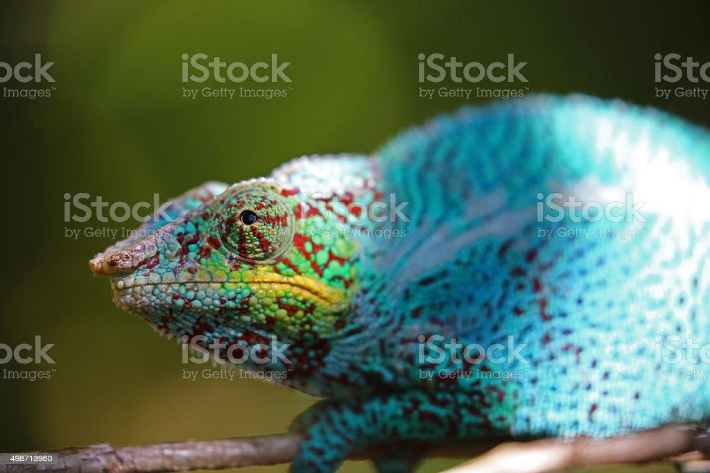 Madagascar: Nosy Be Panther Chameleon stock photo