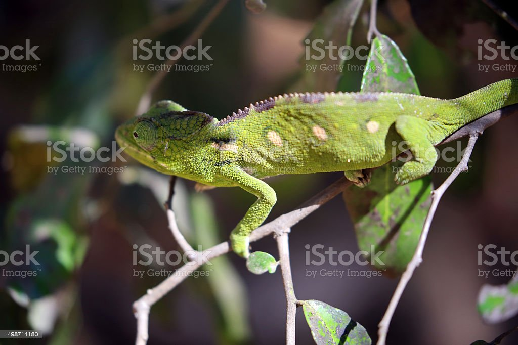 Madagascar: Oustalet's Chameleon in Isalo National Park stock photo