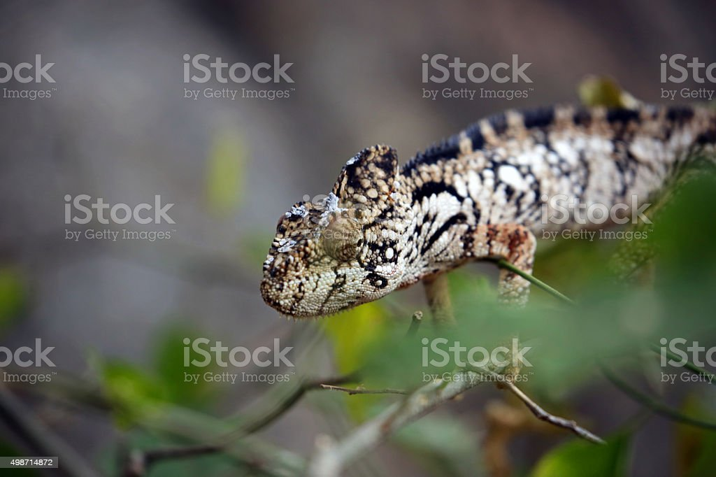 Madagascar: Oustalet's Chameleon stock photo
