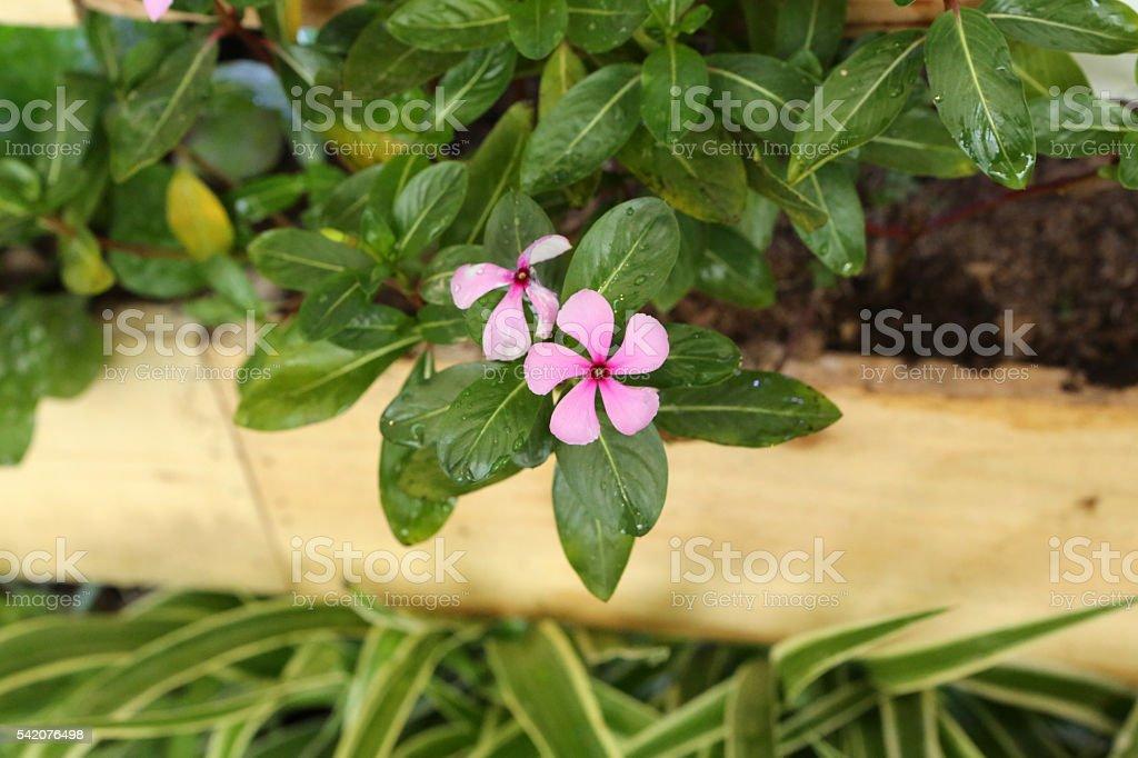 Madagascar Periwinkle - Apocynaceae - Catharanthus Roseus Don stock photo