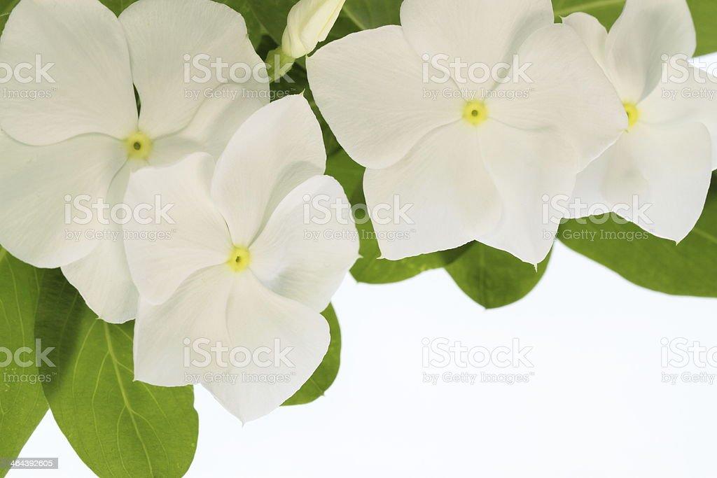 Madagascar periwinkle beautiful white stock photo