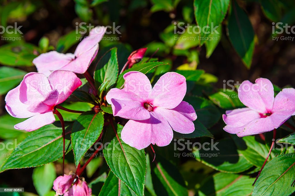 Madagascar periwinkle, Madagascar periwinkle stock photo