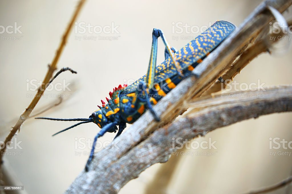 Madagascar: Rainbow Bush Locust in Isalo National Park stock photo