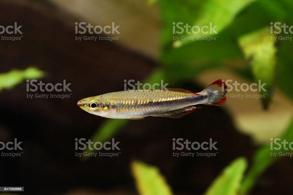 Madagascar rainbowfish Bedotia madagascariensis Madagascan Aquarium Fish stock photo