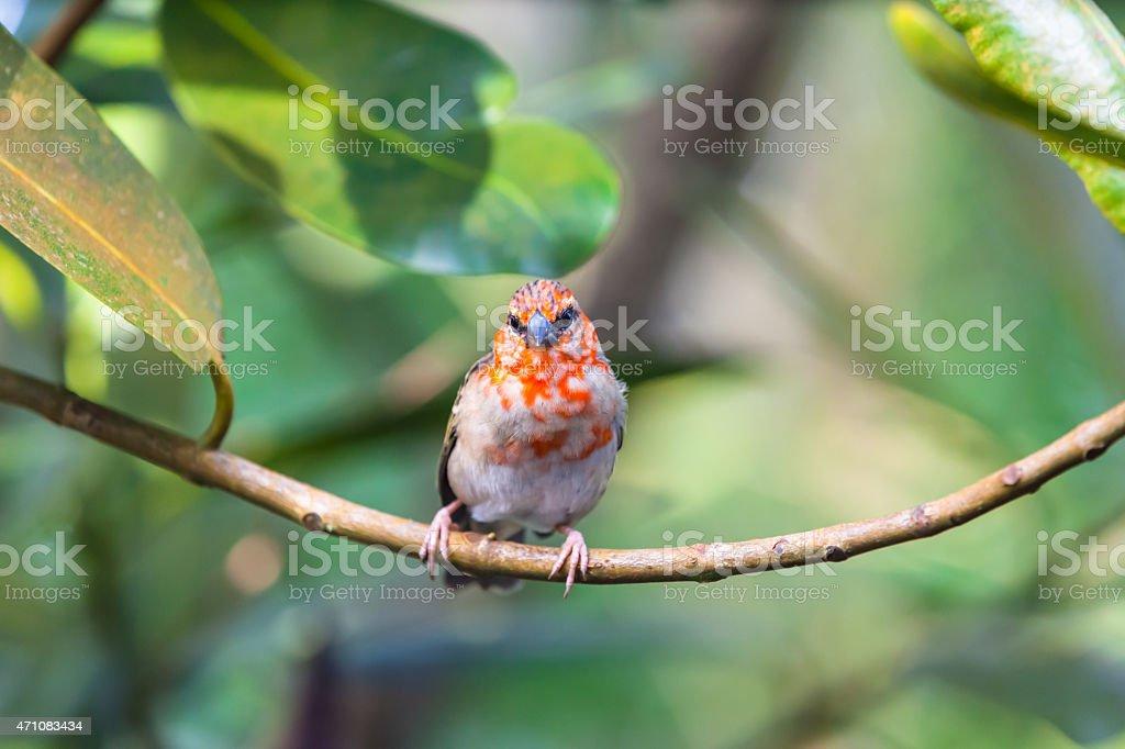 Madagascar Red Fody stock photo