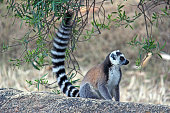Madagascar: Ring-Tailed Lemur in Isalo National Park