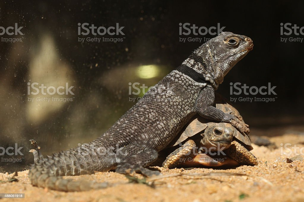 Madagascar spiny-tailed iguana (Oplurus cuvieri) and spider tort stock photo