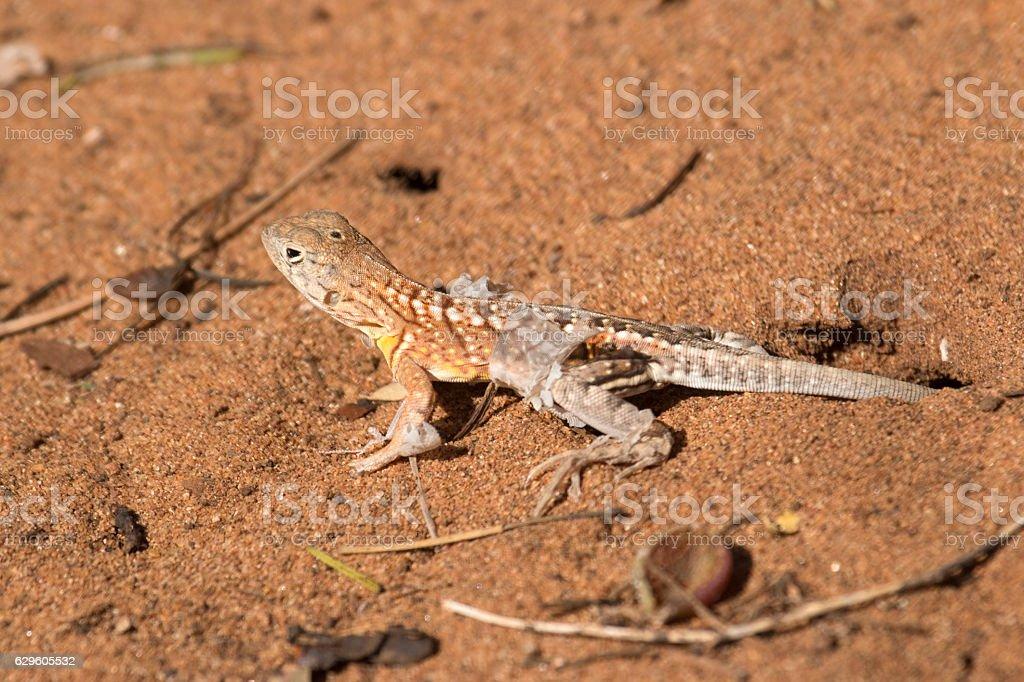 Madagascar three-eyed shedding lizard walks across spiny desert sands stock photo
