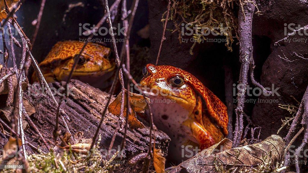 Madagascar tomato frog or crapaud rouge de Madagascar  (Dyscophus antongilii) stock photo