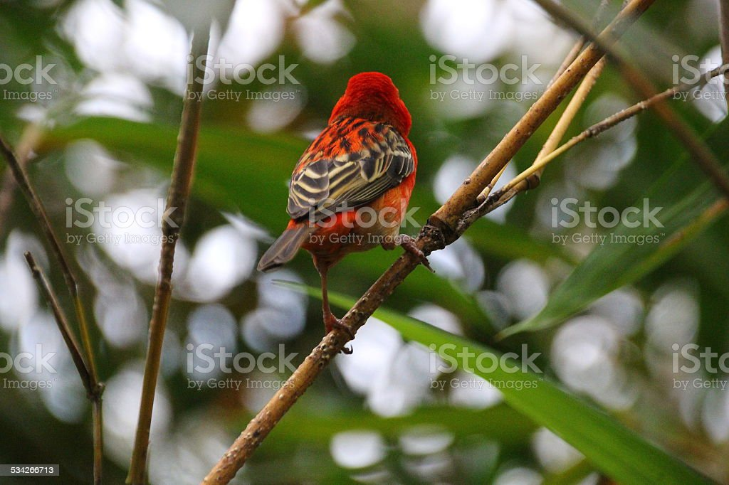 Madagaskarweber stock photo