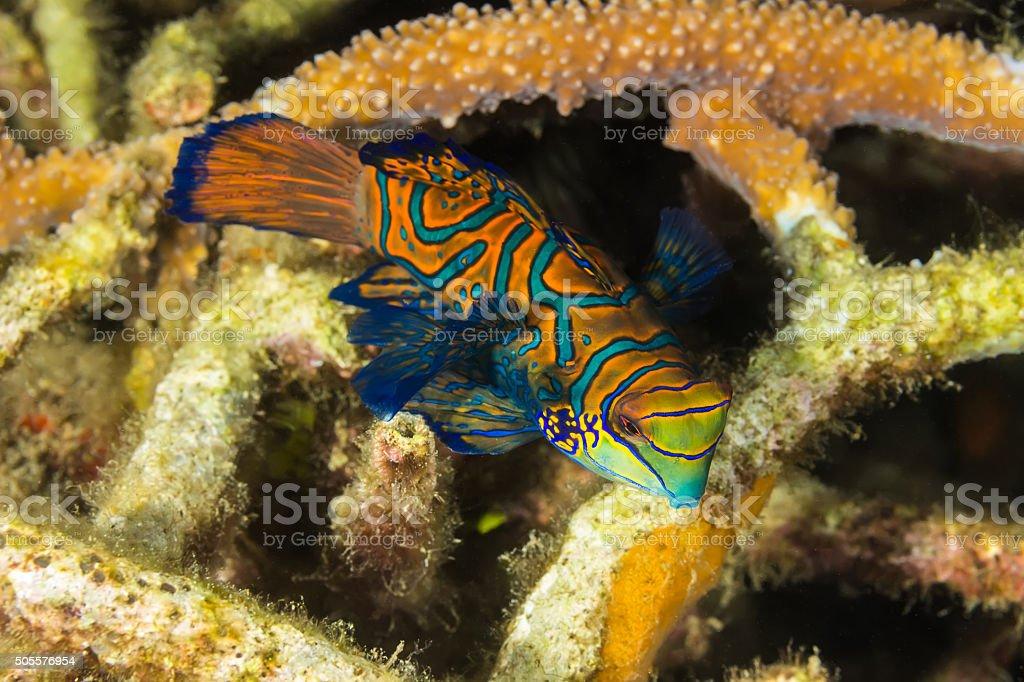 Madarin Fish, Madarin Dragonet stock photo