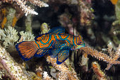 Madarin Fish, Madarin Dragonet