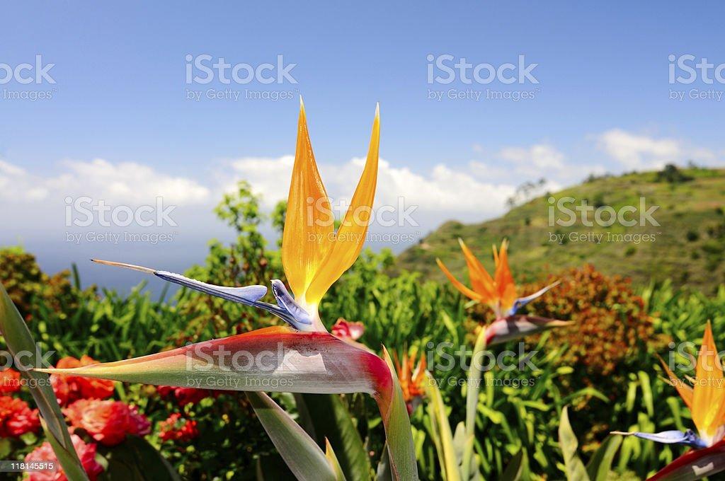Madeira Bird of Paradise Flower in Prazeres Spring stock photo