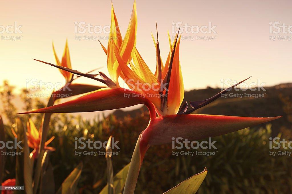 Madeira Bird of Paradise Flower Sunset stock photo