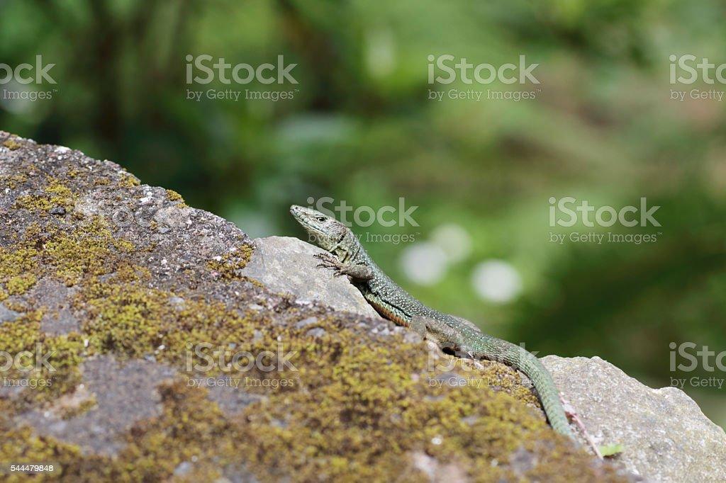Madeira wall lizard (Teira dugesii) stock photo