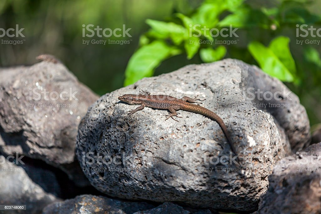 madeira wall lizard stock photo