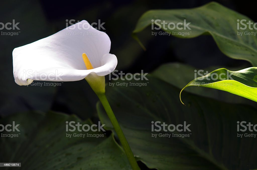 Madonna lily flower stock photo